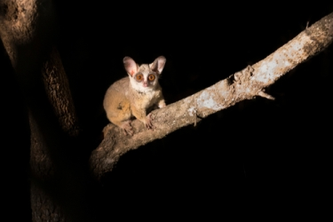 bushbaby_africa_primate_rescue_conservation
