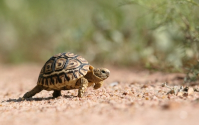tortoise_africa_volunteer