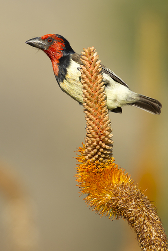 black_collared_barbet